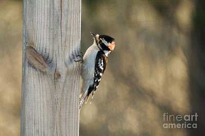 Picoides Pubescens Photograph - Downy Woodpecker Hunting by Linda Freshwaters Arndt