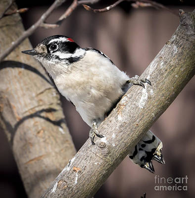Photograph - Downy Woodpecker by Ricky L Jones