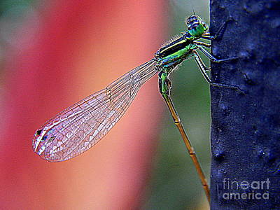 Photograph - New Orleans Damsel Fly Profile by Michael Hoard