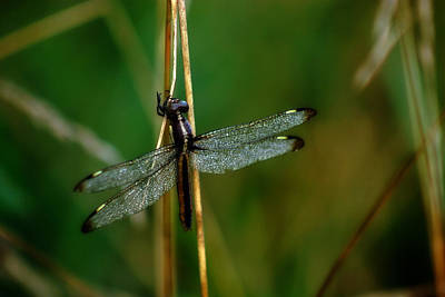 Photograph - Dragonfly by CE Haynes