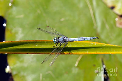 Insect Photograph - Dragonfly by George Atsametakis