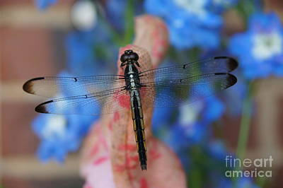 Photograph - Dragonfly by Megan Cohen