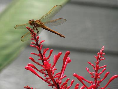 Photograph - Dragonfly by Ron Davidson
