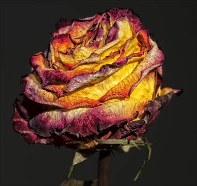 Dried Rose Still Life Art Print by Robert Ullmann