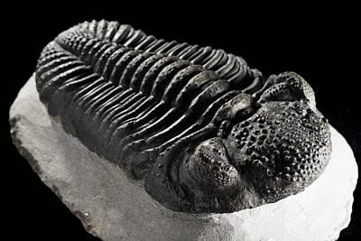 Trilobite Photograph - Drotops Megalomanicus Trilobite Fossil by Lawrence Lawry