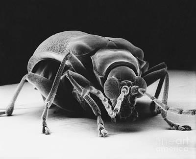 Drugstore Beetle Print by David M. Phillips