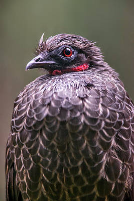 Penelope Wall Art - Photograph - Dusky-legged Guan Penelope Obscura by Leonardo Mer�on