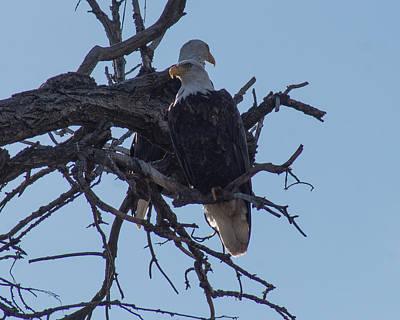 Caravaggio - Eagles on the Arkansas by Darla Abernathy