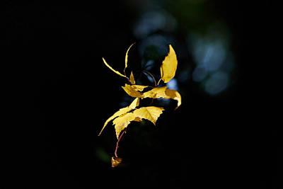 Jouko Lehto Royalty-Free and Rights-Managed Images - Early Fall of  Downy Birch by Jouko Lehto