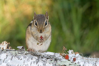 Eastern Chipmunk Photograph - Eastern Chipmunk by Linda Freshwaters Arndt