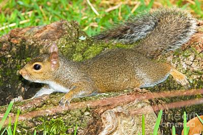 Eastern Grey Squirrel Photograph - Eastern Gray Squirrel by Millard H. Sharp