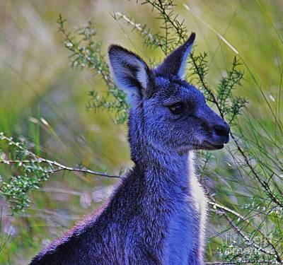 Eastern Grey Kangaroo Original by Blair Stuart
