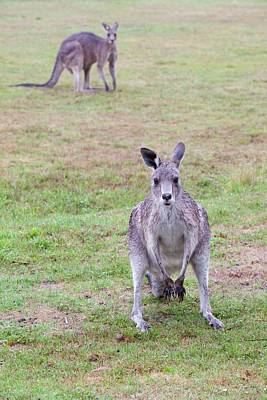 Marsupial Photograph - Eastern Grey Kangaroos Grazing by Ashley Cooper