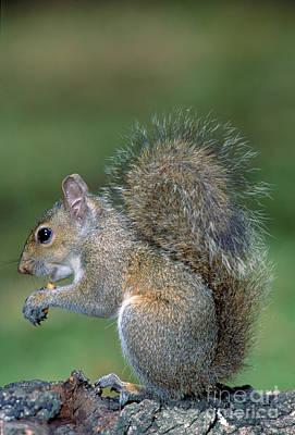 Eastern Grey Squirrel Photograph - Eastern Grey Squirrel by Millard H. Sharp