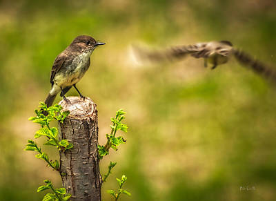 Adorable Photograph - Eastern Phoebe by Bob Orsillo