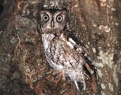 Photograph - Eastern Screech Owl by Ira Runyan