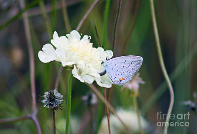 Butterfly Blue Pincushion Flower Photograph - Eastern Tailed Blue Butterfly On Pincushion Flower by Karen Adams