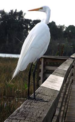 Photograph - Egret by Ron Davidson
