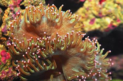 Photograph - Elegance Coral by Puzzles Shum