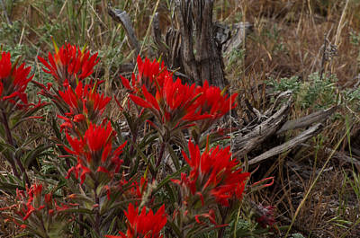 Photograph - Elmers Indian Paintbrush by Eric Rundle