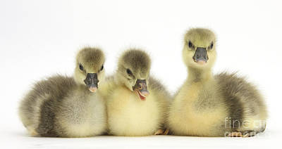 House Pet Photograph - Embden X Greylag Goslings by Mark Taylor