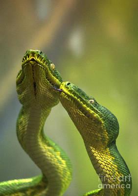 Snake Head Photograph - Emerald Tree Boa by Mark Newman
