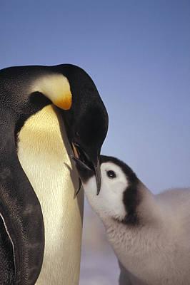 Emperor Penguin Feeding Chick Antarctica Print by Tui De Roy