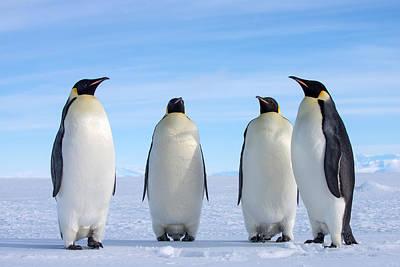 Antarctica Photograph - Emperor Penguins by Alasdair Turner