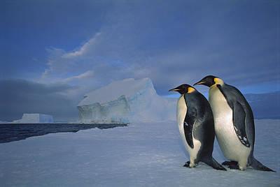 Emperor Penguins At Midnight Antarctica Print by Tui De Roy