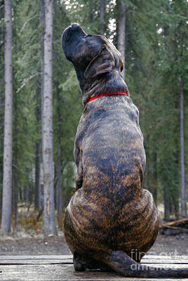Dog Portraits From Photograph - English Mastiff by Mark Newman