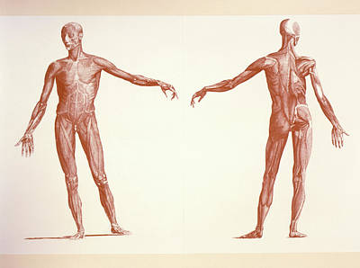 Engraving Of Human Skeletal Muscles Art Print by Sheila Terry/science Photo Library