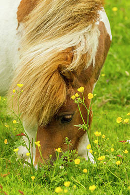 Shetland Ponies Photograph - Europe, Scotland, Shetland Islands by Jaynes Gallery