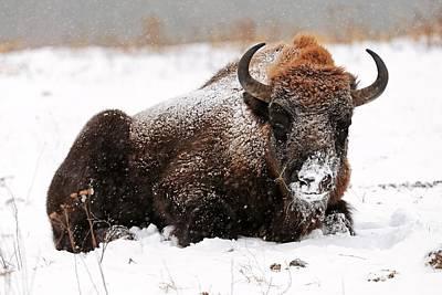 European Bison In Snow Art Print