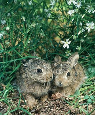 European Hare Wall Art - Photograph - European Brown Hares by Hans Reinhard