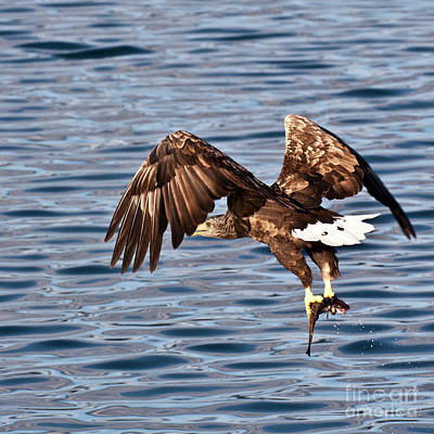 Ailing Photograph - European Fishing Sea Eagle 4 by Heiko Koehrer-Wagner