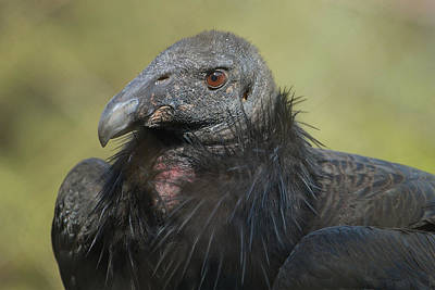 Condor Photograph - Eye Of The Beholder by Fraida Gutovich
