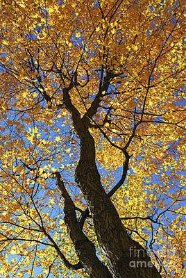 Yellow. Leaves Photograph - Fall Maple Trees by Elena Elisseeva