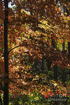 Photograph - Fall Maples - Arboretum - Madison by Steven Ralser