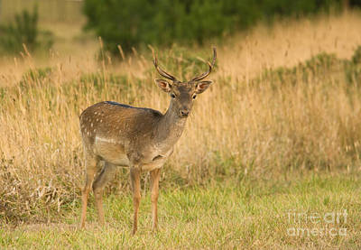 Photograph - Fallow Deer by Dan Suzio