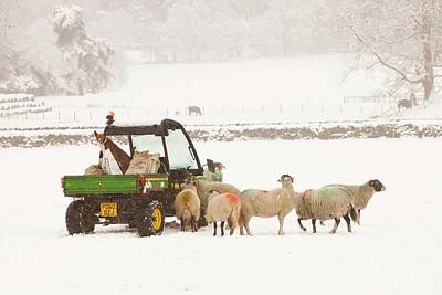 Farmer Feeding Sheep In Winter Print by Ashley Cooper