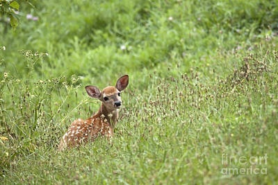 Photograph - Fawn by Jeannette Hunt