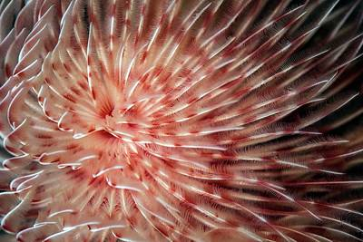 Water Filter Photograph - Feather Duster Worm by Ethan Daniels