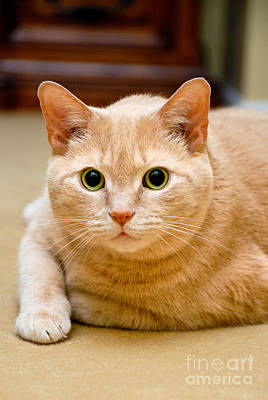 Eyes Photograph - Feline Portrait by Amy Cicconi