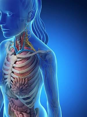 Internal Organs Photograph - Female Anatomy by Sebastian Kaulitzki