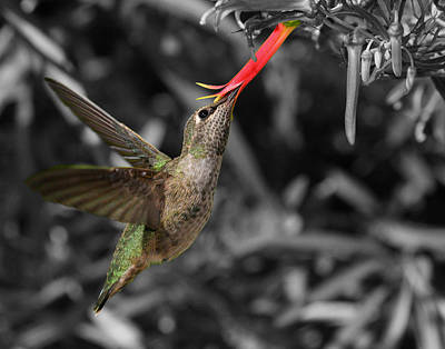 Photograph - Female Anna's Hummingbird by Old Pueblo Photography