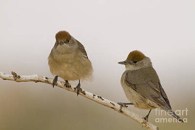 Blackcap Photograph - 2 Female Eurasian Blackcaps by Eyal Bartov
