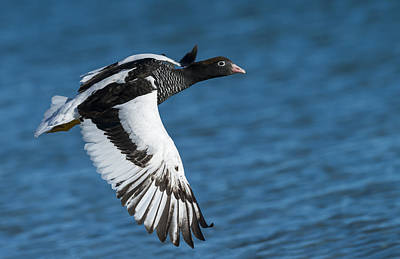 Carcass Island Photograph - Female Kelp Goose, Falkland Islands by John Shaw