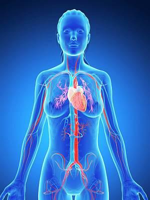 Internal Organs Photograph - Female Vascular System by Sebastian Kaulitzki