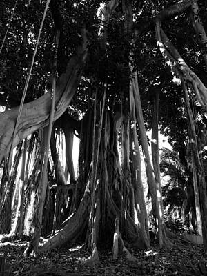 Photograph - Ficus Macrophylla Columnaris by Jouko Lehto