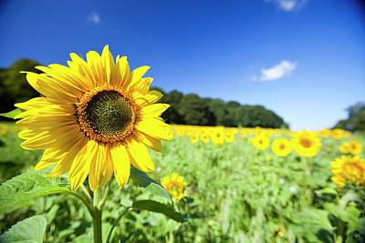 Vegetable Oil Photograph - Field Of Sunflowers by Ashley Cooper
